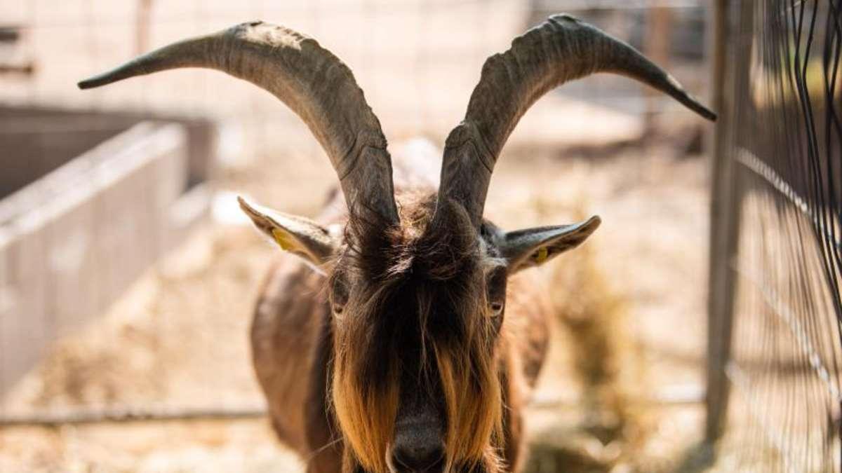 Stunk um Ziegen-Gestank: Urteil bringt wenig Klarheit